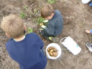 ...zahlreiche Kartoffeln, ...
